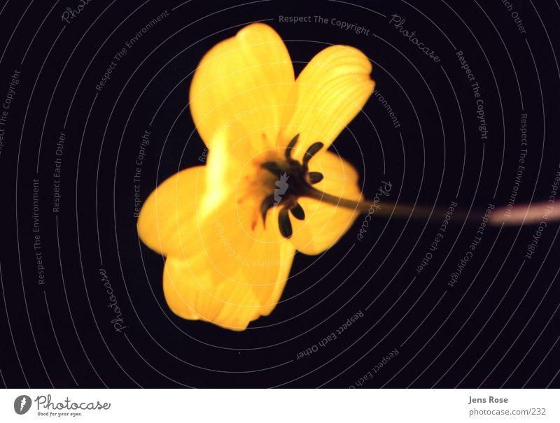 leuchtende Blüte gelb Sonne Makroaufnahme