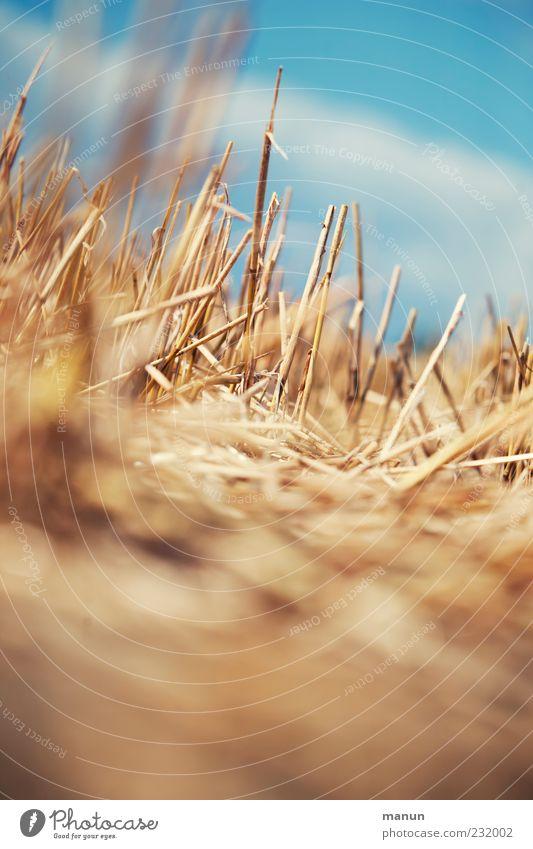 Strohhalme Landwirtschaft Forstwirtschaft Natur Himmel Sommer Wärme Pflanze Stoppelfeld strohig Ernte Halm Feld Weizenfeld authentisch einfach natürlich