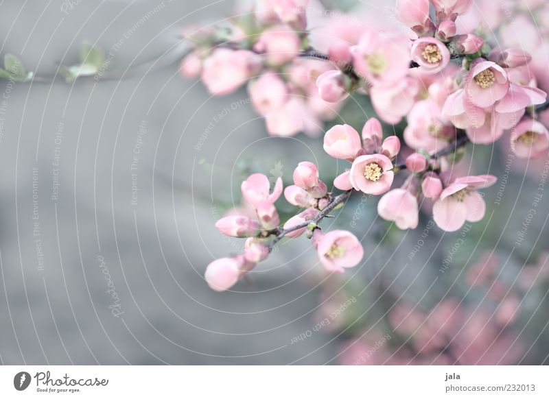 quitten in bloom III Natur Pflanze Frühling Sträucher Blüte schön rosa Quittenblüte Farbfoto Außenaufnahme Menschenleer Textfreiraum links Tag Blütenblatt