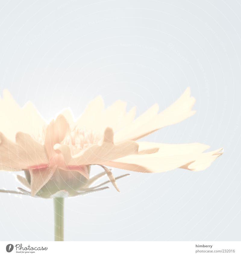 canada Natur schön Pflanze Sommer Blume Umwelt Blüte Frühling Duft harmonisch High Key Anschnitt Blütenblatt matt Makroaufnahme
