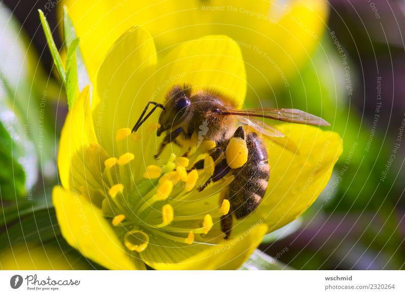 Biene auf gelbem Winterling Umwelt Natur Pflanze Tier Frühling Blume Blüte Wildpflanze Winterlinge Garten Wiese Wildtier 1 Arbeit & Erwerbstätigkeit Essen