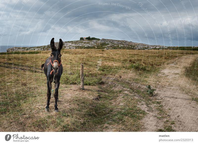 der Wächter Landschaft Wolken Horizont Sommer schlechtes Wetter Gras Küste Tier Haustier 1 schreien blau braun grau grün Esel Farbfoto Gedeckte Farben