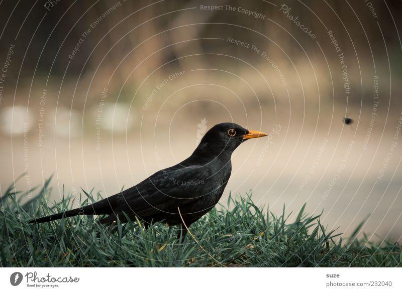 Last minute Natur grün Tier schwarz Gras Vogel Wildtier sitzen warten Feder Schnabel heimisch Ornithologie Singvögel Amsel Wissenschaften