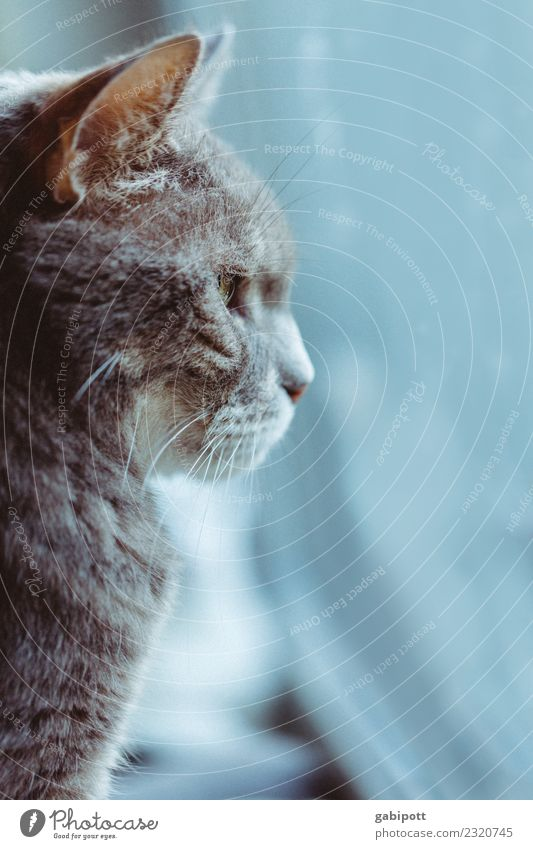 trübes Wetter für Kater Katze blau schön Tier Winter grau warten beobachten weich Haustier Fell schlechtes Wetter Weisheit Tierliebe Pelzmantel