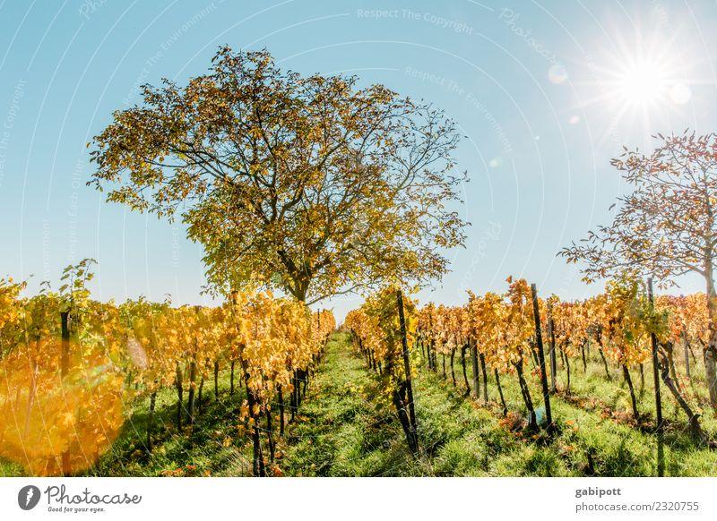 Vorfreude ... oder Baum im Wingert im Herbst Lifestyle harmonisch Wohlgefühl Zufriedenheit Sinnesorgane Erholung ruhig Duft Ferien & Urlaub & Reisen Tourismus