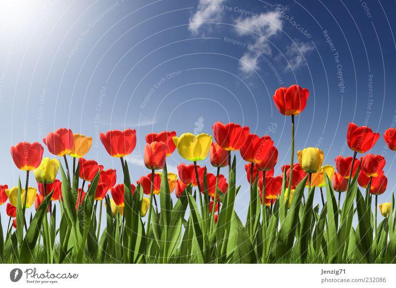Tulpenfeld. blau grün rot Pflanze Sonne Sommer Blume Blatt Wolken gelb Wiese Landschaft Blüte Garten Frühling Park