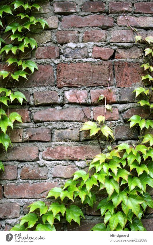 Leaf Me Alone alt grün weiß rot Blatt schwarz Wand grau Stein Mauer braun Fassade Fuge Efeu Ranke Altbau