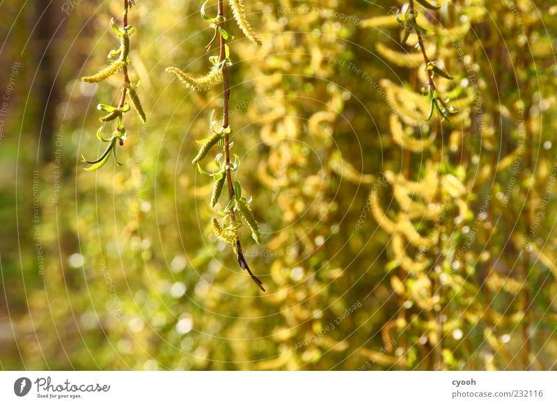 gold grün Baum Pflanze gelb Frühling frisch Wachstum leuchten Ast Blühend Schönes Wetter hängen Weide hängend