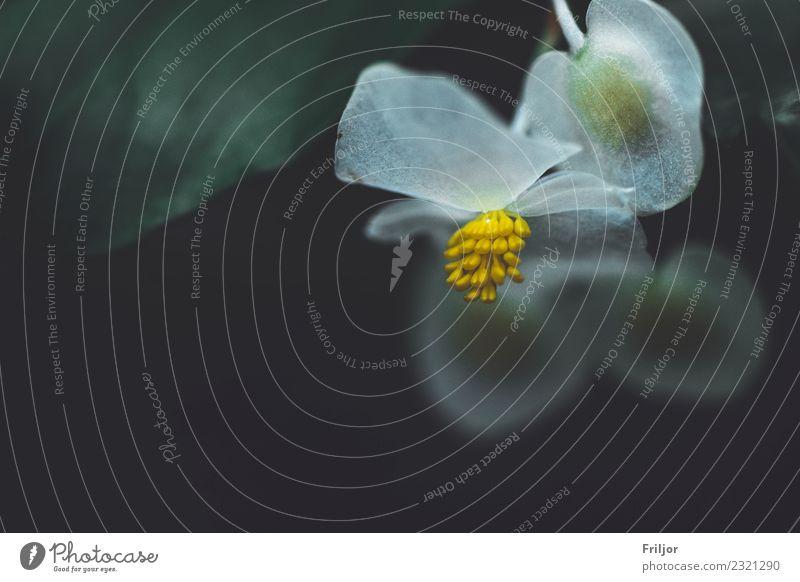 Glasig Natur Pflanze Blume Blüte Grünpflanze ästhetisch außergewöhnlich Duft dunkel dünn schön nah natürlich blau gelb grün schwarz weiß zart sensibel jung