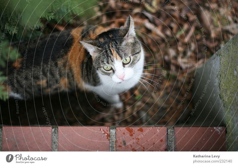 Vorgarten-Drama Tier Haustier Katze 1 beobachten authentisch klein natürlich Neugier weich braun grün weiß Wachsamkeit Überraschung gefährlich Stress