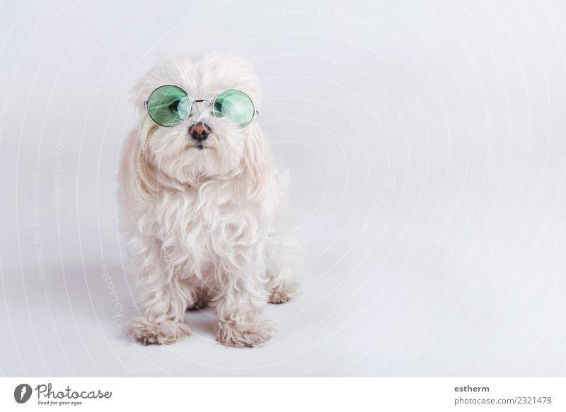 lustiger Hund mit Sonnenbrille auf weißem Hintergrund Accessoire Tier Haustier 1 Fitness Freundlichkeit Fröhlichkeit kuschlig Warmherzigkeit Sympathie