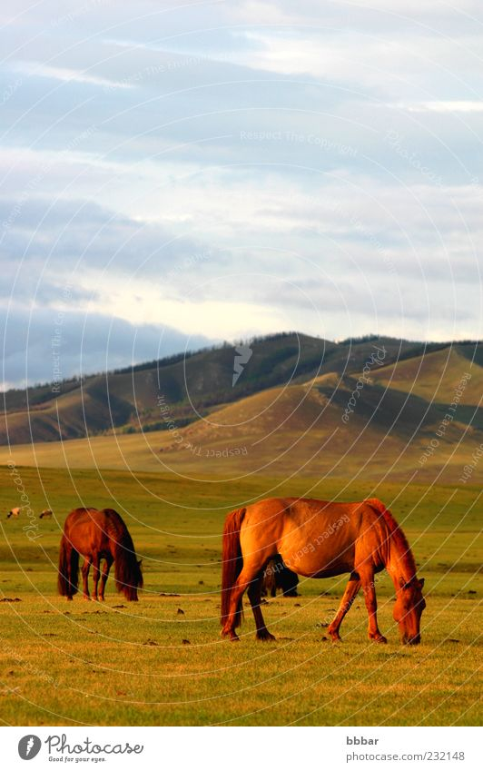 Natur Himmel blau Pflanze Sommer Ferien & Urlaub & Reisen ruhig Wolken Tier gelb Wiese Gras Berge u. Gebirge Landschaft Umwelt Pferd
