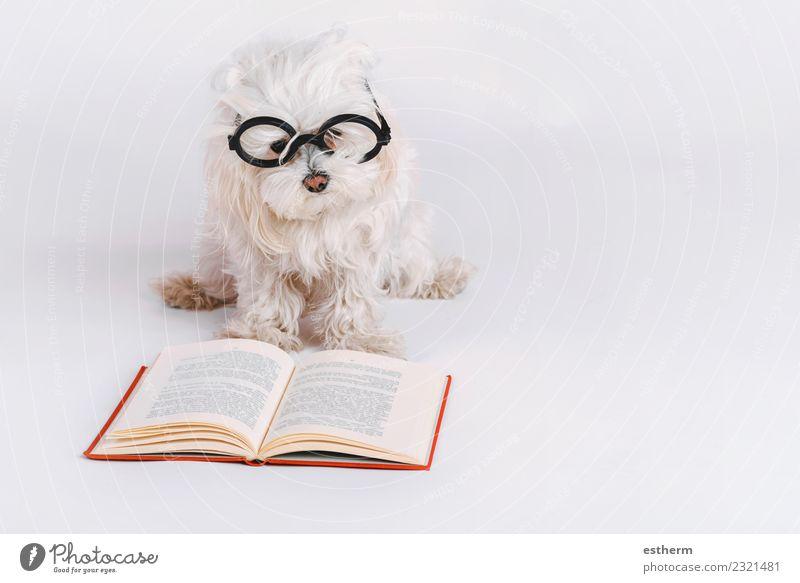 lustiger Hund mit Brille und einem Buch auf weißem Hintergrund Accessoire Tier Haustier 1 lernen lesen liegen Freundlichkeit Fröhlichkeit kuschlig Neugier
