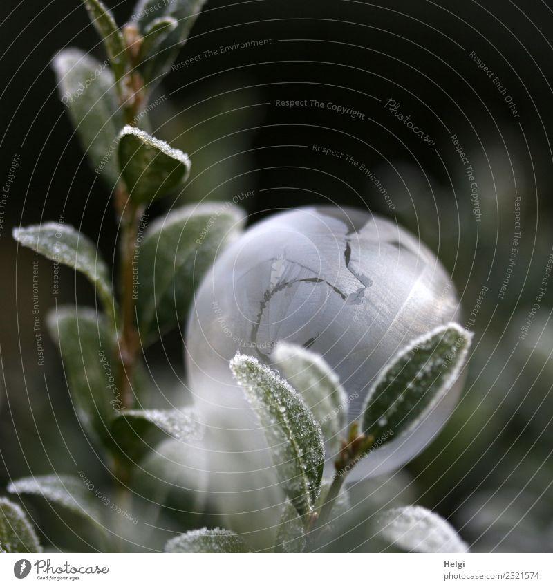 Eisblase IV Natur Pflanze grün weiß Blatt Winter Umwelt kalt natürlich Garten außergewöhnlich grau leuchten liegen ästhetisch