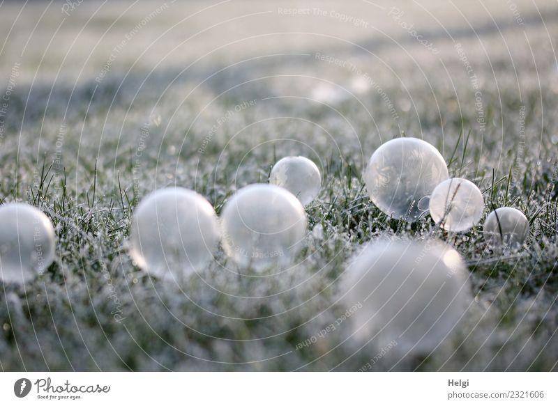 Eisblasen Umwelt Natur Pflanze Winter Schönes Wetter Frost Gras Garten Seifenblase frieren leuchten liegen außergewöhnlich kalt grau grün weiß einzigartig