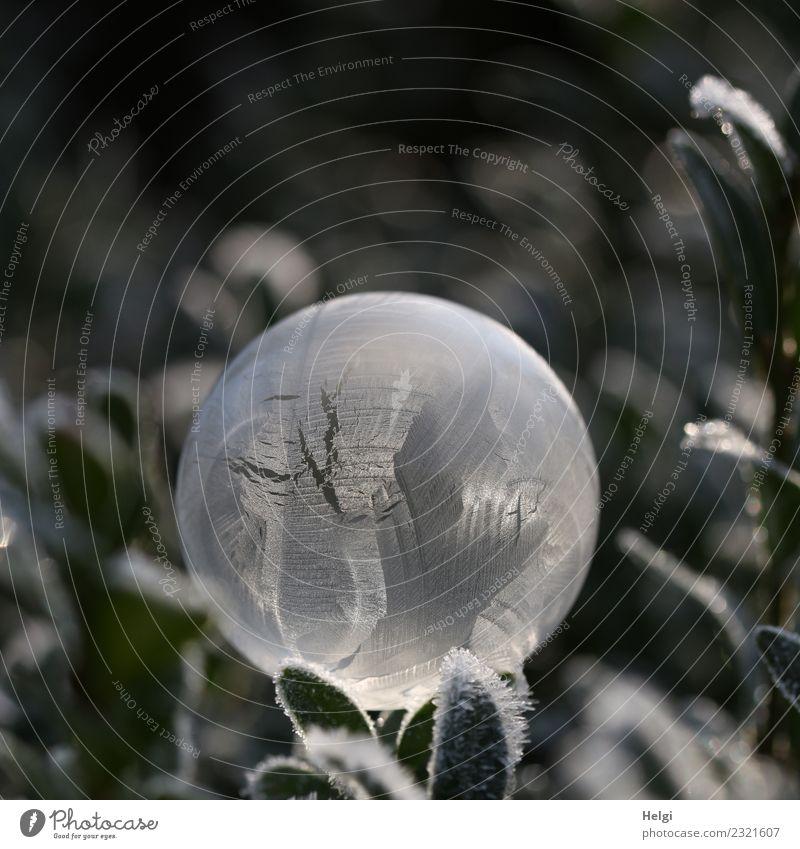 Jahreszeiten | Eisblase Natur Pflanze Winter Frost Blatt Garten Seifenblase frieren glänzend leuchten liegen außergewöhnlich einzigartig kalt rund grau grün