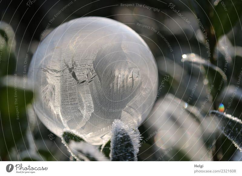 Eisblase III Umwelt Natur Pflanze Winter Frost Blatt Garten Seifenblase Kugel frieren glänzend leuchten liegen ästhetisch außergewöhnlich kalt natürlich rund