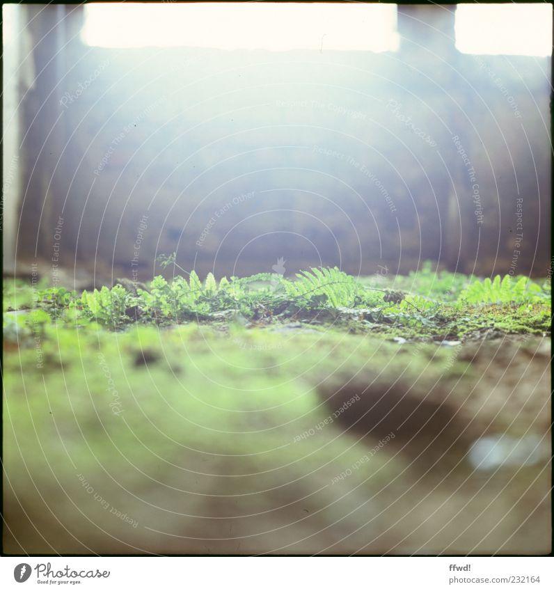[FFM2011.1] Soft green Pflanze Erde Sonnenlicht Moos Farn Menschenleer Ruine Bauwerk Gebäude Mauer Wand Fenster Boden alt Stimmung ruhig Überleben Verfall
