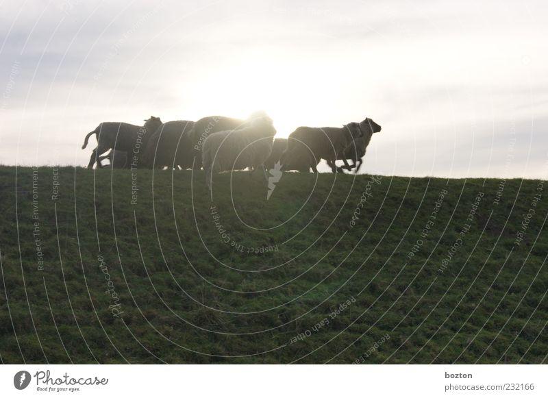 Fliehende Schafe Erholung Wiese Gras Laufsport leuchten Tiergruppe beobachten Schaf Herde Nutztier Deich Schafherde norddeutsch Wolkenschleier