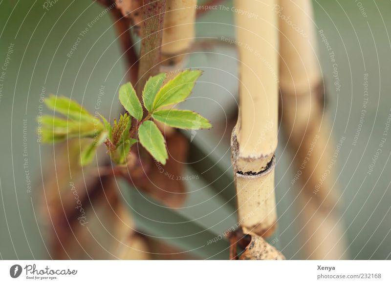 Triebe Natur grün Pflanze Blatt Frühling braun frisch Wachstum Wandel & Veränderung Hoffnung Vorfreude Strebe Neuanfang Bambusrohr Frühlingsgefühle