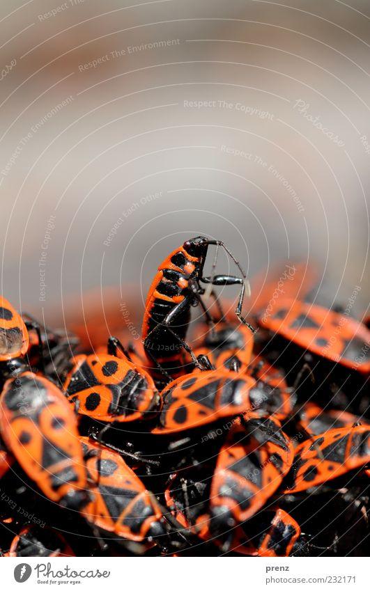 Krabbelgruppe Tier Käfer Tiergruppe Schwarm kämpfen rot schwarz Haufen Panzer Beine oben viele Feuerwanze Wanze Feuerkäfer Insekt Froschperspektive krabbeln