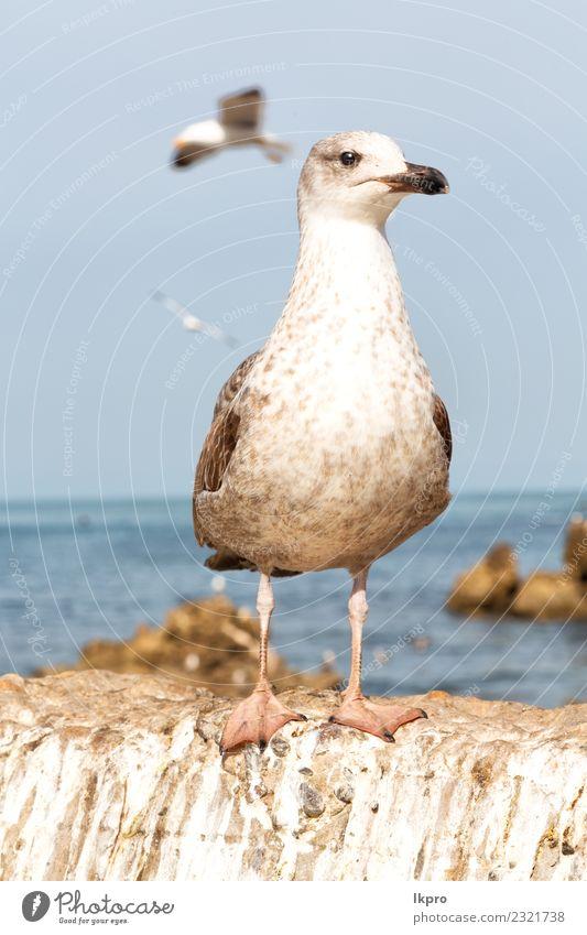 Möwe, die im klaren Himmel fliegt. elegant schön Freiheit Sommer Meer Natur Tier Wind Vogel fliegen frei hell wild blau grau schwarz weiß vereinzelt Etage
