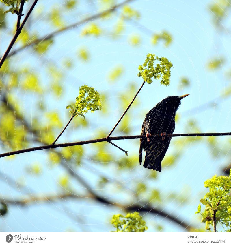 super star Umwelt Natur Pflanze Tier Frühling Baum Vogel 1 blau grün schwarz Star Zugvogel Blüte Zweig Zweige u. Äste Ast Flügel Schnabel Gegenlicht Farbfoto