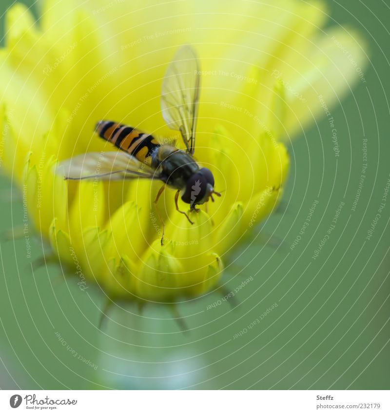 fixiert auf gelb Natur Sommer Pflanze Blume Blüte Blütenblatt Tier Fliege Flügel Insekt Schwebfliege Blühend Fressen klein natürlich grün Farbe Leben grün-gelb