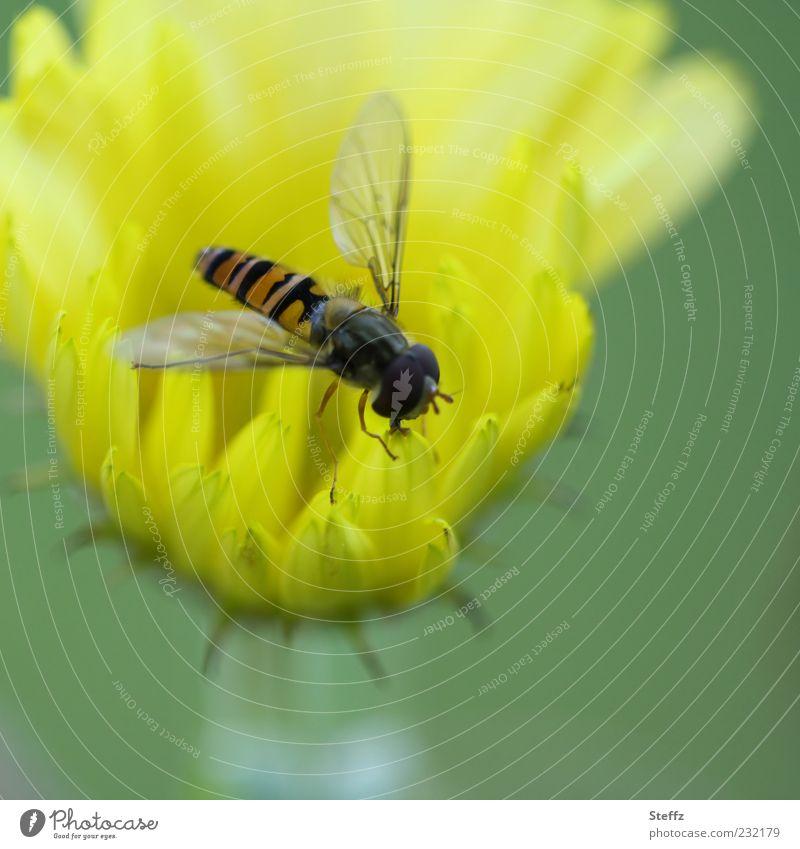 Schwebfliege auf einer gelben Gartenblume Fliege Fressen Blume gelbe blume Insekt Nahrungssuche klein hellgrün zart Sommerblume zartes Grün leicht nah