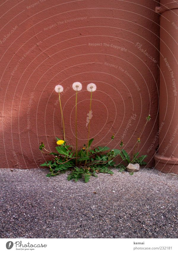3 Grazien Natur Pflanze Blume Haus Umwelt Wand Stein Mauer Frühling Fassade Wachstum Wandel & Veränderung Asphalt Blühend Schönes Wetter stark