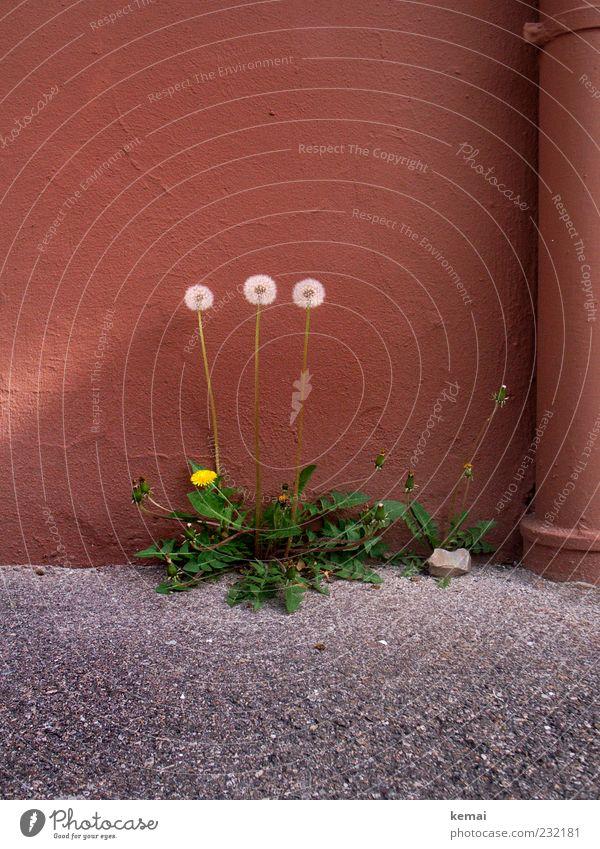 3 Grazien Umwelt Natur Pflanze Frühling Schönes Wetter Blume Grünpflanze Wildpflanze Unkraut Löwenzahn Haus Mauer Wand Asphalt Blühend Wachstum stark