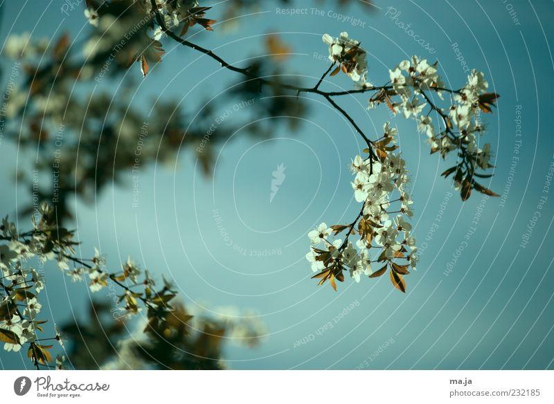wärmster Apriltag seit 1879 Natur Pflanze Himmel Frühling Kirschbaum Zweige u. Äste Blüte blau braun grün weiß Farbfoto Außenaufnahme Menschenleer