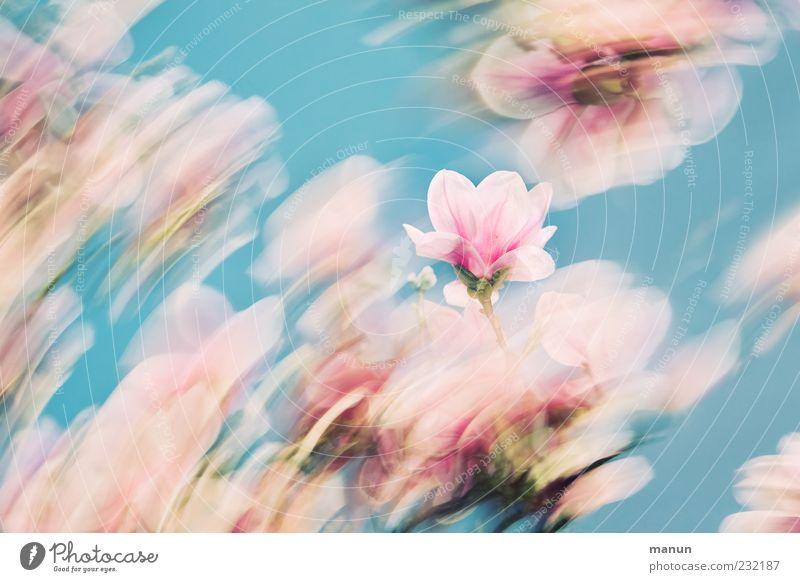 Frühlingsbrise Natur schön Blüte rosa ästhetisch außergewöhnlich Kitsch zart fantastisch abstrakt türkis Blume Duft Magnoliengewächse Blauer Himmel