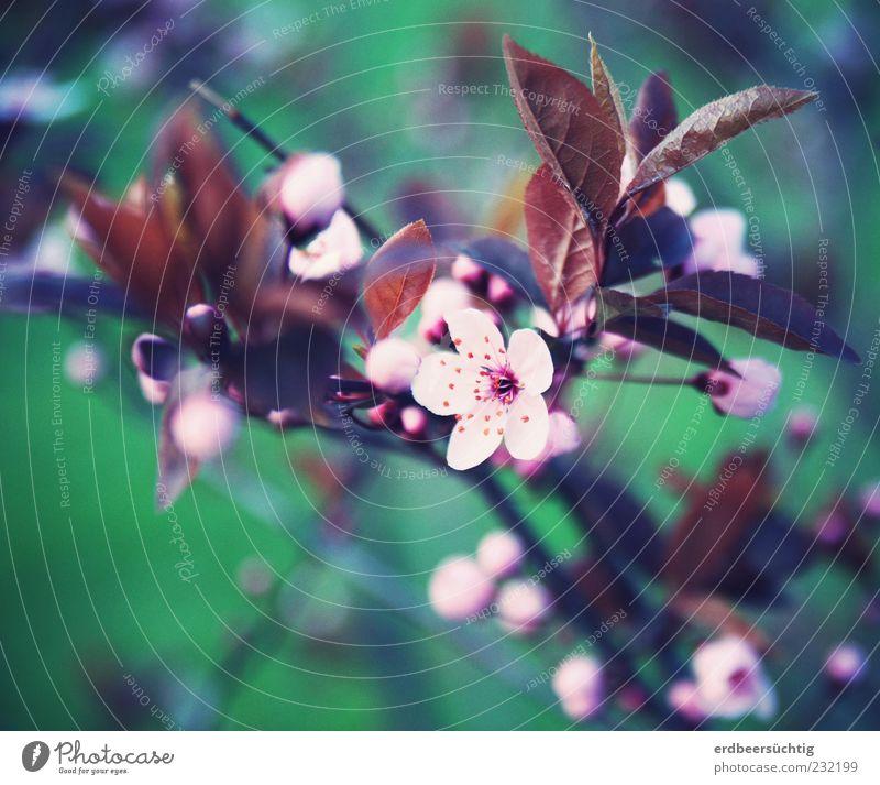 es blüht. Umwelt Natur Pflanze Frühling Baum Blatt Blüte Blütenknospen Blühend Wachstum ästhetisch Duft grün rosa schön Beginn Jahreszeiten Vergänglichkeit