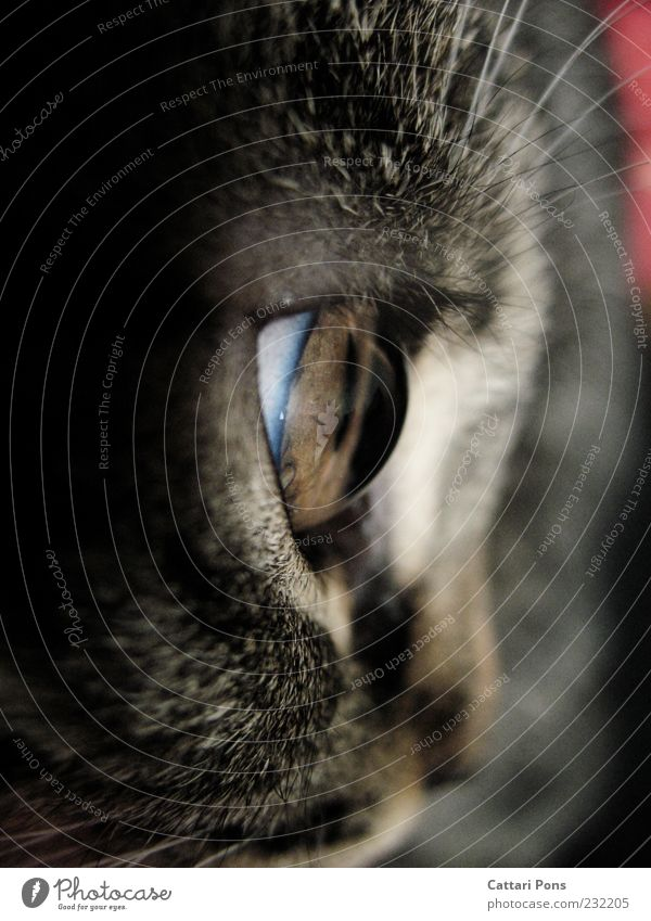 the Universe and Everything Haustier Katze beobachten Katzenauge nah Tierjunges Blick grau Hauskatze Wimpern Licht Linse Optik Wölbung Pupille Fell