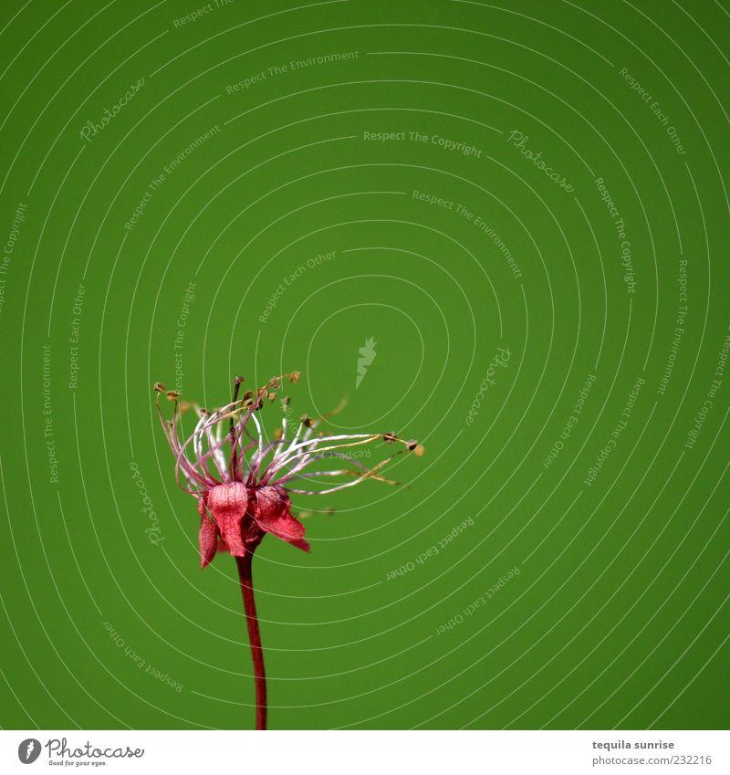 Geh nicht Umwelt Natur Pflanze Blume Blüte Wildpflanze einfach schön grün rosa rot Gefühle Stimmung Vergänglichkeit Farbfoto mehrfarbig Außenaufnahme