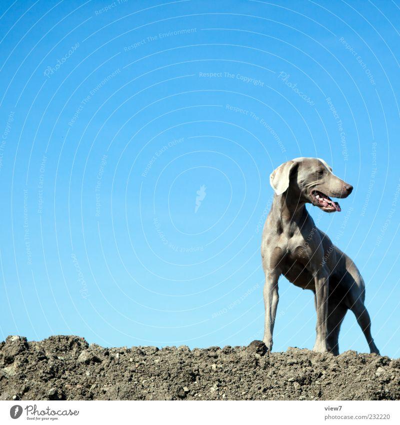 Kampfhund Himmel blau Hund schön Tier braun warten Klima authentisch einfach Tiergesicht Schönes Wetter Wolkenloser Himmel muskulös Hundeblick