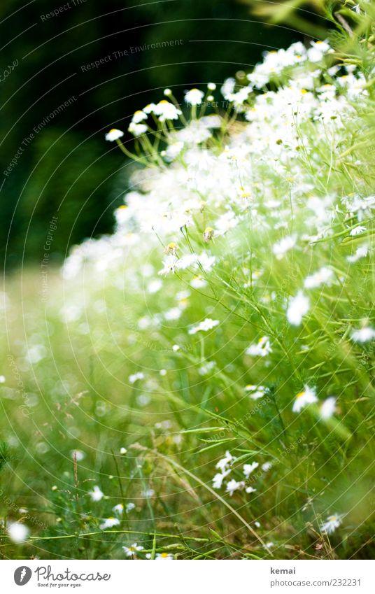 Voll Kamille Natur weiß grün Pflanze Sommer Blume Blatt Umwelt Wiese Blüte hell Wachstum leuchten Sträucher Blühend Schönes Wetter