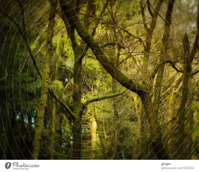 Wunschwald Umwelt Natur Pflanze Sonnenlicht Frühling Schönes Wetter Baum Nutzpflanze Wildpflanze Wald Wachstum grün grün-gelb Zweig Nadelbaum Mischwald Ast