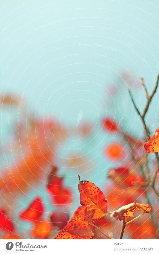 Indian Summer Ferien & Urlaub & Reisen Tourismus Häusliches Leben Garten Umwelt Natur Pflanze Luft Wolkenloser Himmel Herbst Schönes Wetter blau rot Freude