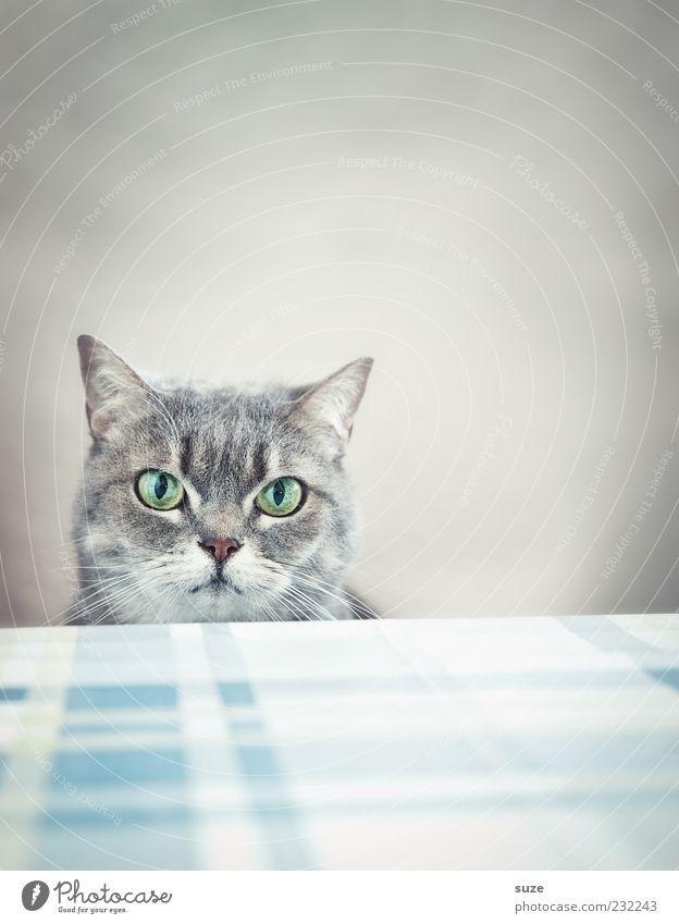 Was, kein Frühstück? Tisch Tier Haustier Katze Tiergesicht 1 lustig natürlich niedlich schön grau Langeweile Hauskatze Auge Küchentisch Katzenkopf warten