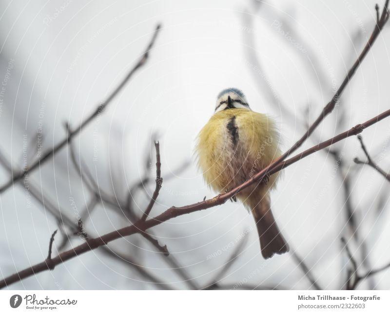 Aufgeplusterte Blaumeise im Baum Natur Tier Sonne Sonnenlicht Ast Wildtier Vogel Tiergesicht Krallen Meisen Feder Schnabel 1 Kugel leuchten sitzen klein nah