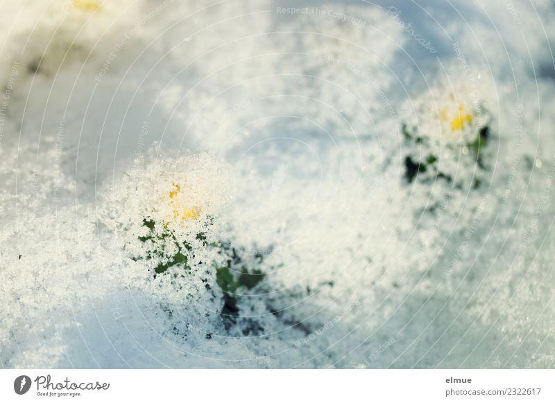 Schneedecke Natur Pflanze Blume Umwelt Frühling lustig klein hell Eis Beginn Lebensfreude Energie Neugier Hoffnung Frost