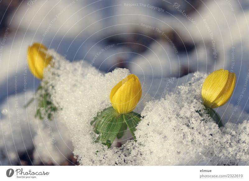 """""""Kissenschlacht"""" Natur Pflanze Farbe Blume gelb Blüte Frühling Schnee klein Glück hell leuchten Park Beginn Schönes Wetter Blühend"""