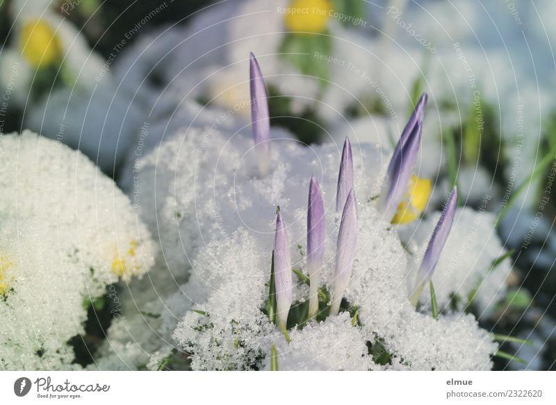 Krokusspitzen Natur Pflanze Frühling Klimawandel Schnee Blüte Krokusse Winterlinge Frühblüher Rakete Blühend ästhetisch Neugier dünn Spitze violett weiß Glück