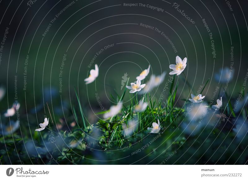 Plümchen Natur Blume Pflanze Gras Frühling authentisch einfach natürlich Frühlingsgefühle Wildpflanze Frühlingsblume Buschwindröschen