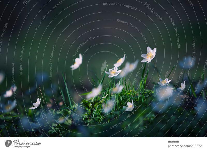 Plümchen Natur Frühling Pflanze Blume Gras Wildpflanze Buschwindröschen Frühlingsblume authentisch einfach natürlich Frühlingsgefühle Farbfoto Außenaufnahme