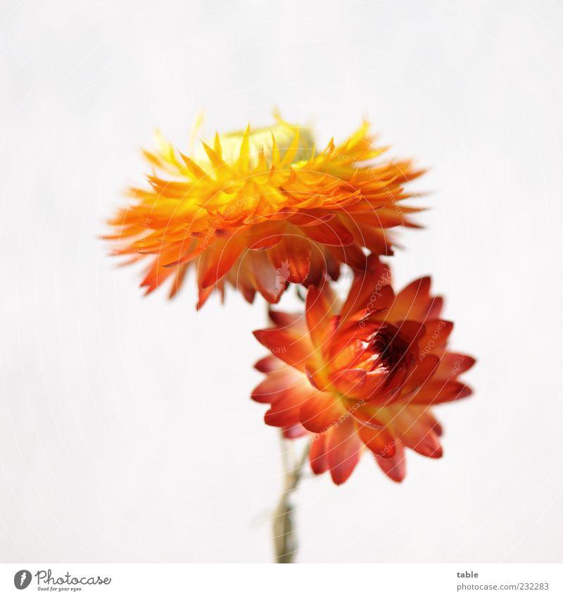 mag ich Pflanze Blume Blüte Trockenblume Strohblume Blühend leuchten ästhetisch schön einzigartig natürlich trocken mehrfarbig gelb gold grün rot weiß Farbe