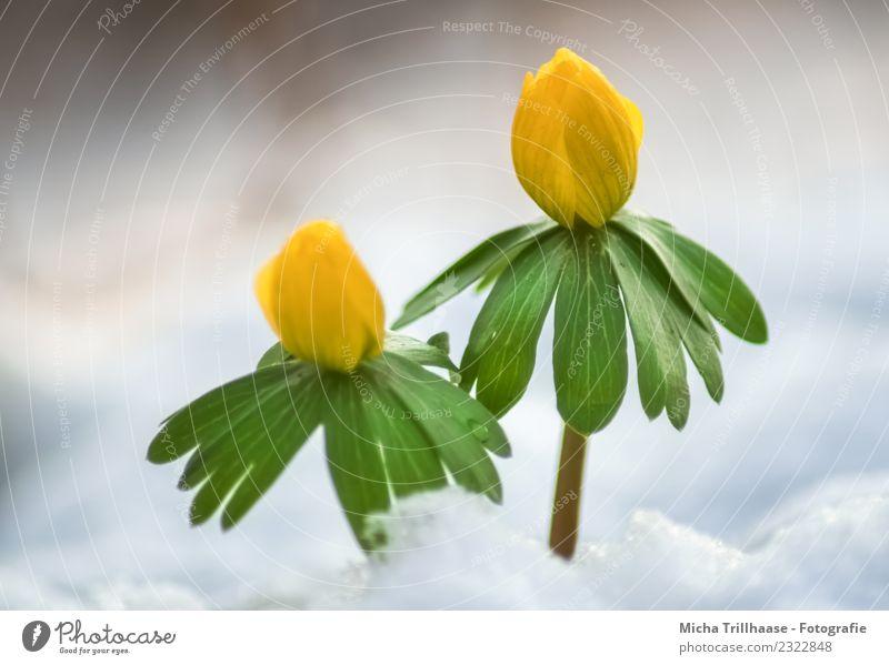 Kleine gelbe Blumen im Schnee Umwelt Natur Pflanze Sonne Sonnenlicht Frühling Winter Schönes Wetter Eis Frost Blatt Blüte Wildpflanze Winterlinge Frühblüher