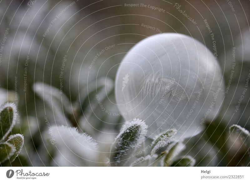 Happy Birthday willma... Natur Pflanze grün weiß Blatt ruhig Winter Umwelt kalt Garten außergewöhnlich grau Eis liegen ästhetisch einzigartig